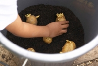 Plante as batatinhas com os brotos para cima