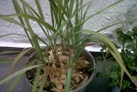 Capim cidreira plantado no vaso