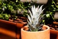 Plante o abacaxi na terra